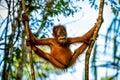 Very flexible baby orangutan between the trees Sumatra, Indonesia Royalty Free Stock Photo