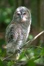 Baby Owl Stock Photo