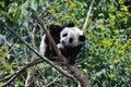 Baby panda Royalty Free Stock Photo