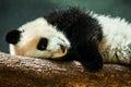 Baby panda cub resting Royalty Free Stock Photo