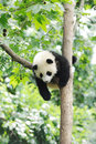Baby panda on the tree in chengdu research base of giant breeding Stock Photography