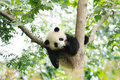 Baby panda on the tree in chengdu research base of giant breeding Royalty Free Stock Image