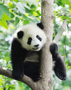 Baby panda on the tree in chengdu research base of giant breeding Stock Images