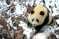 A baby panda is walking on snowfield in bifengxia