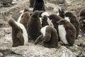 Baby Penguin Colony Royalty Free Stock Photo