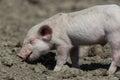 Baby pig Royalty Free Stock Photo