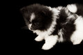Baby pomeranian pure bread isolated on a black background Royalty Free Stock Photography