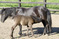Baby pony next to mother one feeding its calf on a meadow Stock Images