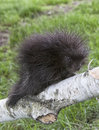 Baby porcupine young profiled climbing on a birch tree limb spring in wisconsin Stock Photography