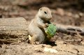 Baby prairie dog and spider Royalty Free Stock Photography