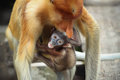 Baby proboscis monkeys a monkey showing the tongue Royalty Free Stock Images