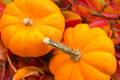 Baby Pumpkins on a Bed of Fall Leaves Royalty Free Stock Photo