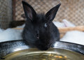 Baby rabbit black newborn drinking water Royalty Free Stock Photography