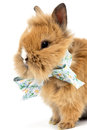 Baby rabbit with a bow on white background Royalty Free Stock Image