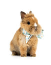 Baby rabbit with a bow on white background Royalty Free Stock Photography