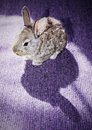 Baby rabbit on the carpet with its own shadow Royalty Free Stock Photography