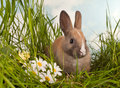 Baby rabbit and daisies Royalty Free Stock Photo