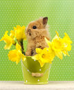 Baby rabbit sitting in a green flower pot with daffodils Royalty Free Stock Image