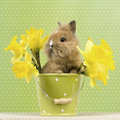 Baby rabbit sitting in a green flower pot with daffodils Stock Photos