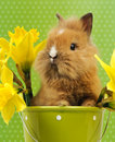 Baby rabbit sitting in a green flower pot with daffodils Royalty Free Stock Images