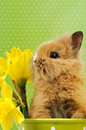 Baby rabbit sitting in a green flower pot with daffodils Royalty Free Stock Photography