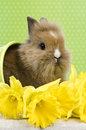 Baby rabbit sitting in a green flower pot with daffodils Royalty Free Stock Photo