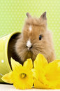 Baby rabbit sitting in a green flower pot with daffodils Stock Images
