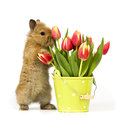 Baby rabbit with tulips one a flower pot and on white background Royalty Free Stock Photo