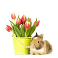Baby rabbit with tulips one a flower pot and on white background Stock Images