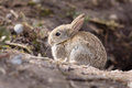 Baby rabbit wild european oryctolagus cuniculus outside a burrow of a warren Royalty Free Stock Image