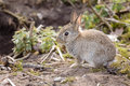 Baby rabbit wild european oryctolagus cuniculus outside a burrow of a warren Stock Photos