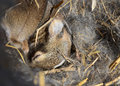 Baby rabbits in fur nest cottontail sleeping their lined Royalty Free Stock Photo