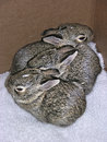 Baby rabbits which were rescued twice from their nest during mowing they were returned to thier nest each time and fortunately Royalty Free Stock Photo