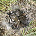 Baby rabbits which were rescued twice from their nest during mowing they were returned to thier nest each time and fortunately Royalty Free Stock Image
