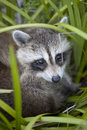 Baby raccoon Royalty Free Stock Image