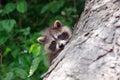 Baby raccoon climbing a tree Royalty Free Stock Image