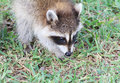 Baby raccoon eating acorns often classified as pests in residential areas this kit procyon lotor is acorn beneath a live oak in Stock Photo