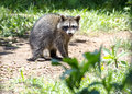 Baby raccoon feeding in the daytime in yard Royalty Free Stock Images