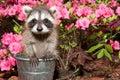 Baby raccoon a hiding in the garden Royalty Free Stock Photos