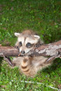 Baby Raccoon Learning to climb. Royalty Free Stock Photo