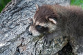 Baby raccoon procyon lotor clings to side of log captive animal Stock Photo