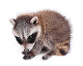 Baby raccoon procyon lotor young on a white background Royalty Free Stock Image