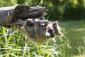 Baby raccoon a turned upside down on log Stock Images