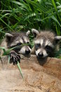 Baby raccoons Royalty Free Stock Images