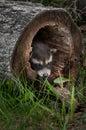 Baby raccoons procyon lotor pokes head out of fallen tree raccoon captive animal Stock Photo