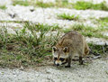 Baby racoon on a coral beach Stock Photo