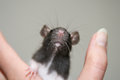 Baby rat Stock Photography