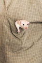 Baby rat in a shirt pocket Royalty Free Stock Photo