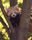 Baby Red Panda Royalty Free Stock Photo