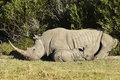 Baby Rhino in African bush  Stock Images